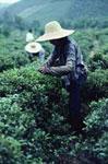 organic tea worker